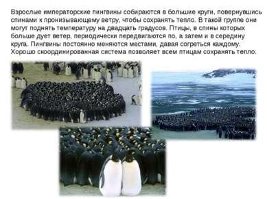 Взрослые императорские пингвины собираются в большие круги, повернувшись спин...