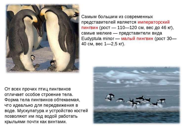 Самым большим из современных представителей является императорский пингвин (р...