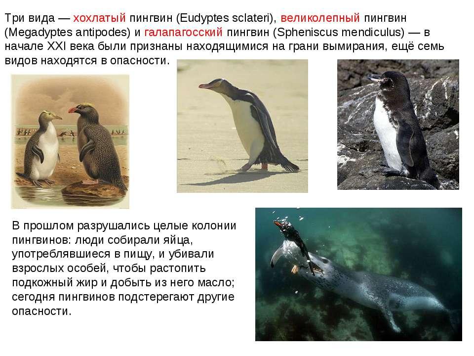 Три вида — хохлатый пингвин (Eudyptes sclateri), великолепный пингвин (Megady...