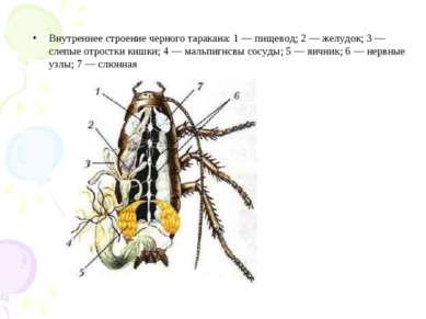 Внутреннее строение черного таракана: 1 — пищевод; 2 — желудок; 3 — слепые от...