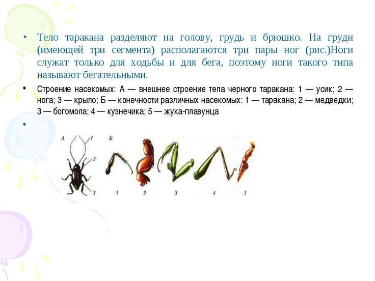 Тело таракана разделяют на голову, грудь и брюшко. На груди (имеющей три сегм...