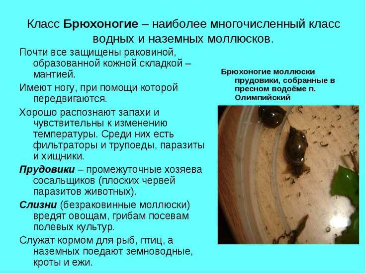 Класс Брюхоногие – наиболее многочисленный класс водных и наземных моллюсков....