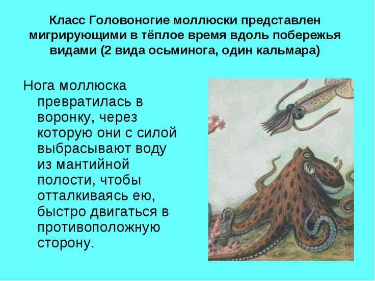 Класс Головоногие моллюски представлен мигрирующими в тёплое время вдоль побе...