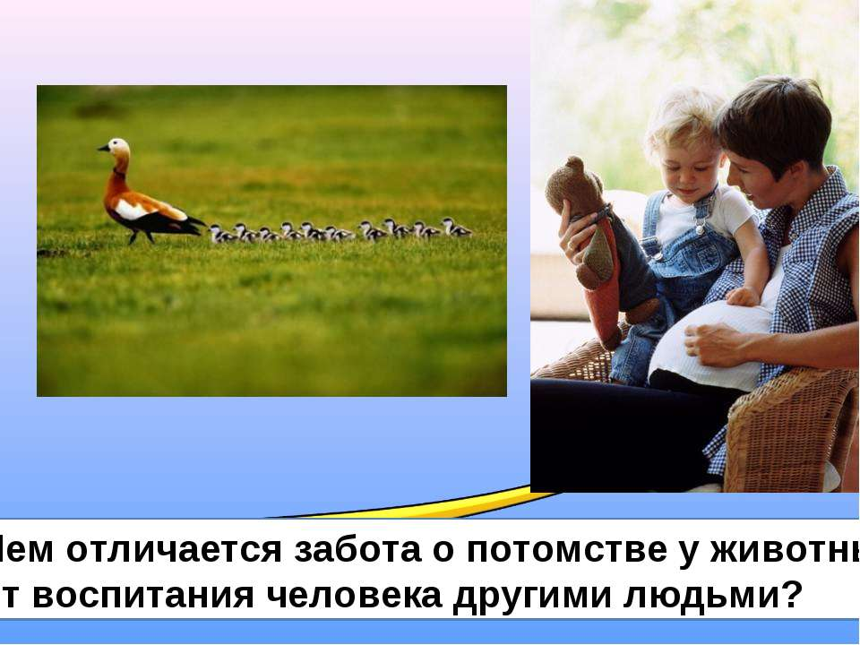 Чем отличается забота о потомстве у животных от воспитания человека другими л...