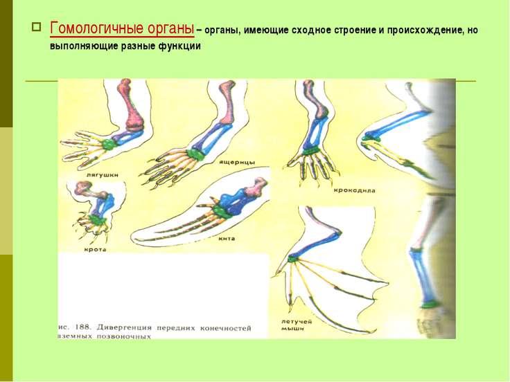 Гомологичные органы – органы, имеющие сходное строение и происхождение, но вы...