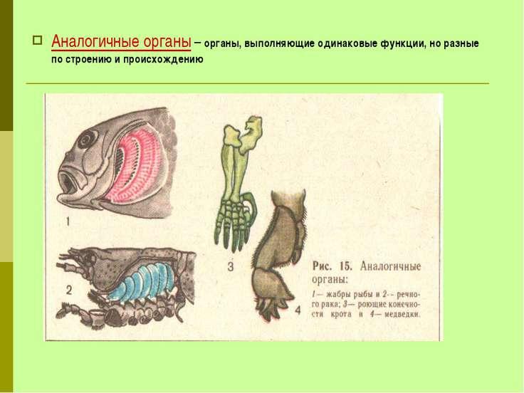 Аналогичные органы – органы, выполняющие одинаковые функции, но разные по стр...