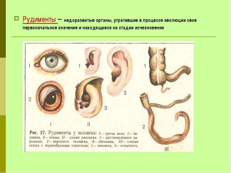 Рудименты – недоразвитые органы, утратившие в процессе эволюции свое первонач...