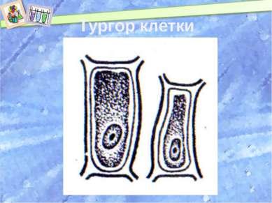 Тургор клетки