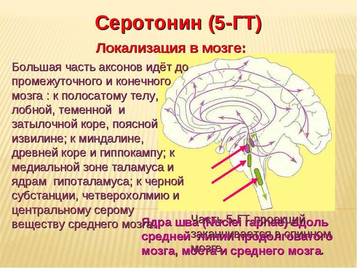 Дневное отделение фармацевтического факультета Серотонин (5-ГТ) Локализация в...