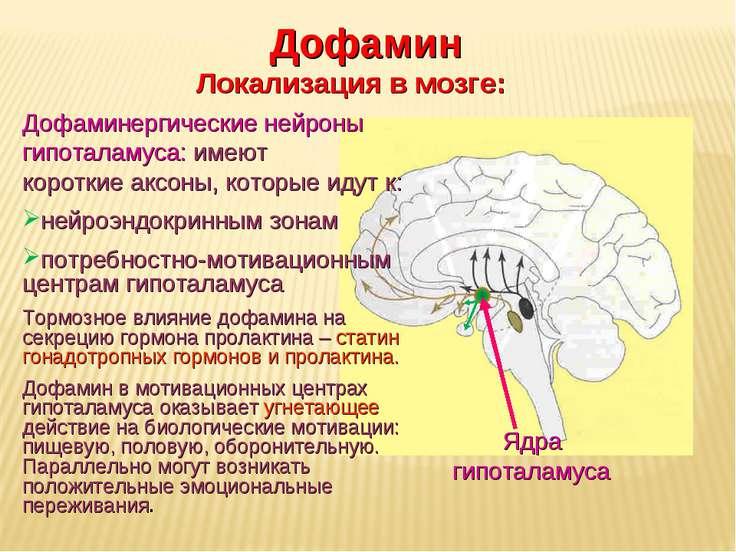 Дневное отделение фармацевтического факультета Ядра гипоталамуса Дофамин Лока...