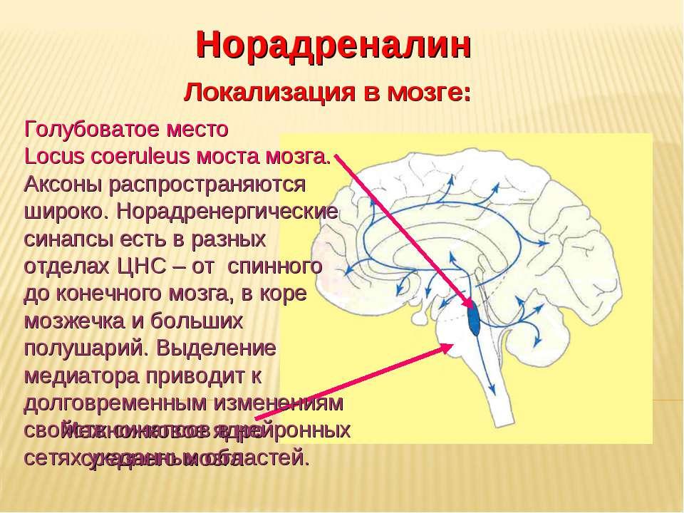 Дневное отделение фармацевтического факультета Норадреналин Локализация в моз...