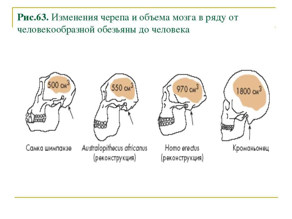 Рис.63. Изменения черепа и объема мозга в ряду от человекообразной обезьяны д...