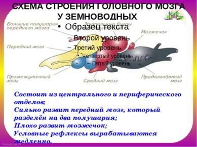 СХЕМА СТРОЕНИЯ ГОЛОВНОГО МОЗГА УЗЕМНОВОДНЫХ Состоит из центрального и перифе...