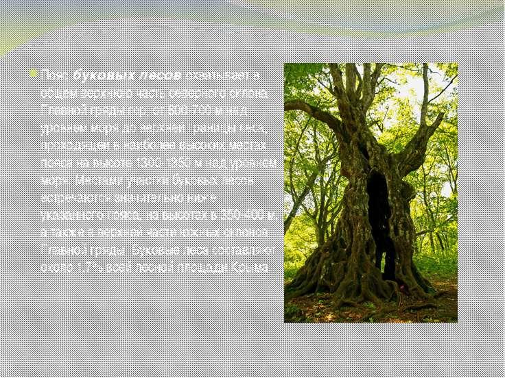 Пояс буковых лесов охватывает в общем верхнюю часть северного склона Главной ...