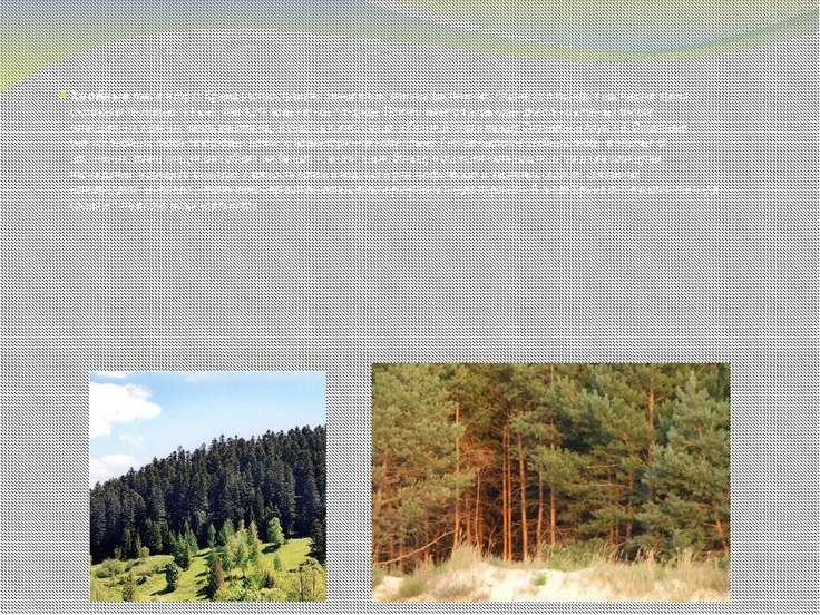 Хвойные леса в горах Крыма распространены значительно меньше лиственных. Обща...