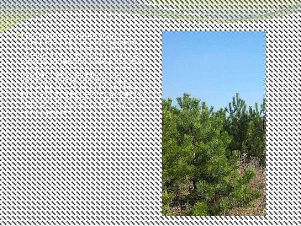 Леса из обыкновенной сосны. В вертикальном отношении естественные биотопы это...