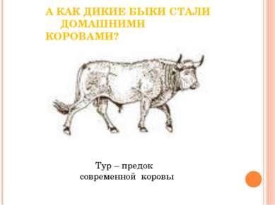 А КАК ДИКИЕ БЫКИ СТАЛИ ДОМАШНИМИ КОРОВАМИ? Тур – предок современной коровы