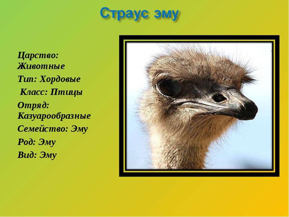 Царство: Животные Тип: Хордовые Класс: Птицы Отряд: Казуарообразные Семейство...
