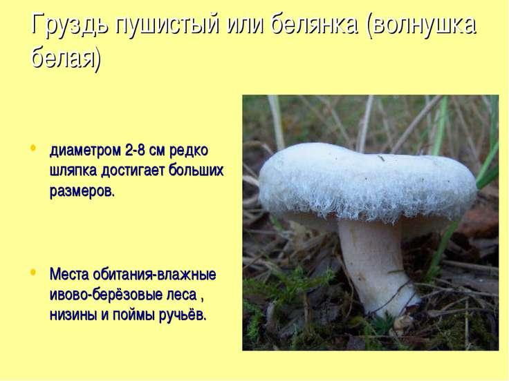Груздь пушистый или белянка (волнушка белая) диаметром 2-8 см редко шляпка до...