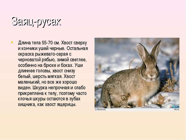 Заяц-русак Длина тела 55-70 см. Хвост сверху и кончики ушей черные. Остальная...