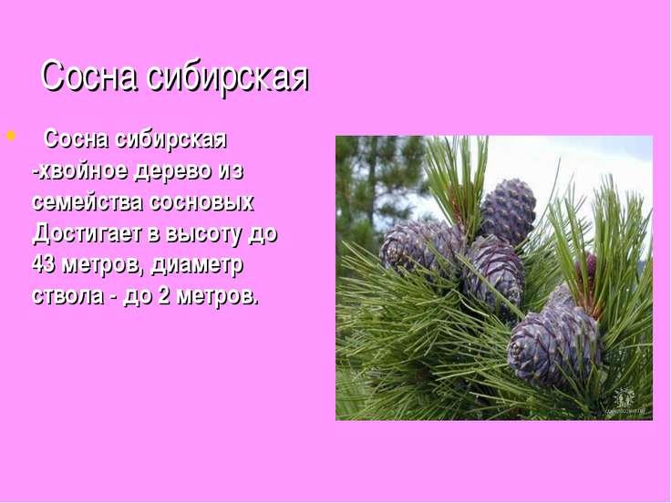 Сосна сибирская  Сосна сибирская -хвойное дерево из семейства сосновых Дости...