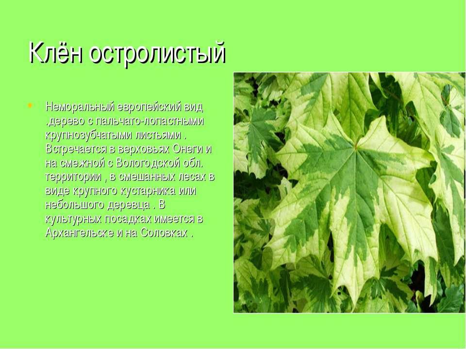 Клён остролистый Неморальный европейский вид .дерево с пальчато-лопастными кр...