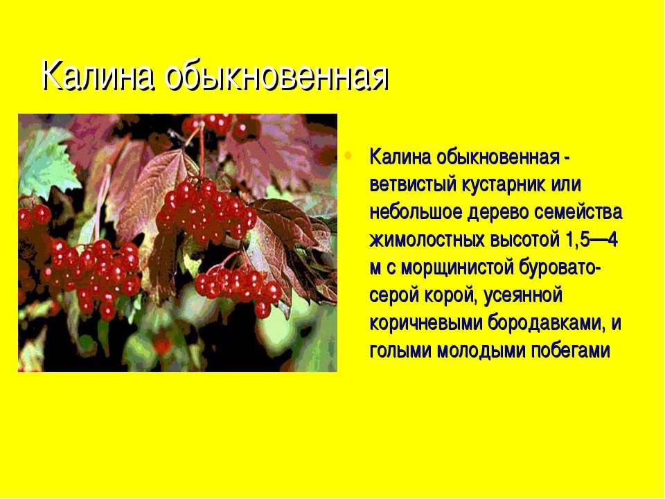 Калина обыкновенная Калина обыкновенная - ветвистый кустарник или небольшое д...