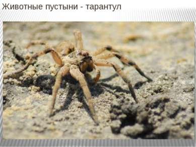 Животные пустыни - тарантул