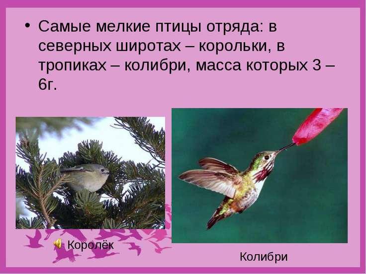 Самые мелкие птицы отряда: в северных широтах – корольки, в тропиках – колибр...