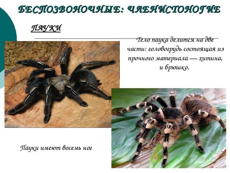 БЕСПОЗВОНОЧНЫЕ: ЧЛЕНИСТОНОГИЕ Тело паука делится на две части: головогрудь со...