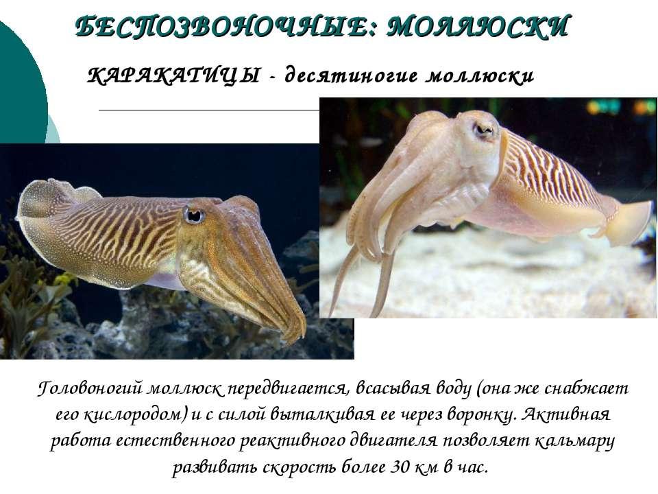 КАРАКАТИЦЫ - десятиногие моллюски БЕСПОЗВОНОЧНЫЕ: МОЛЛЮСКИ Головоногий моллюс...