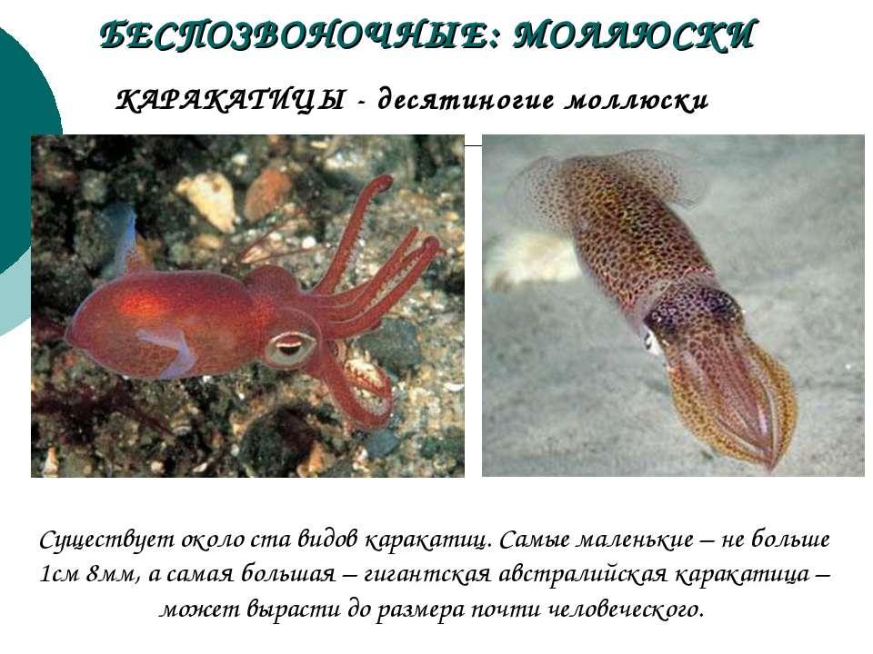КАРАКАТИЦЫ - десятиногие моллюски БЕСПОЗВОНОЧНЫЕ: МОЛЛЮСКИ Существует около с...