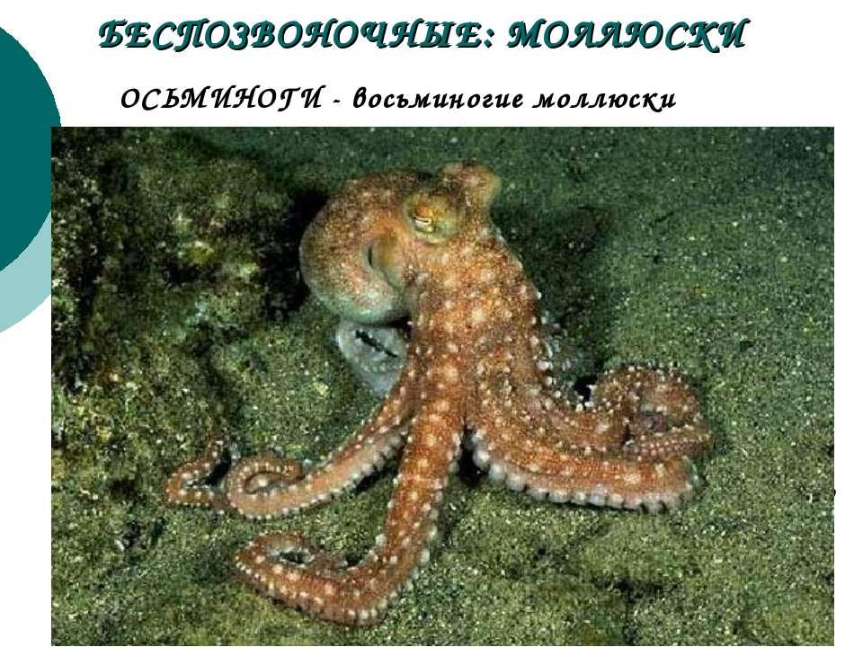 Живут осьминоги не долго. Большинство видов доживают только до 2-х лет. Осьми...