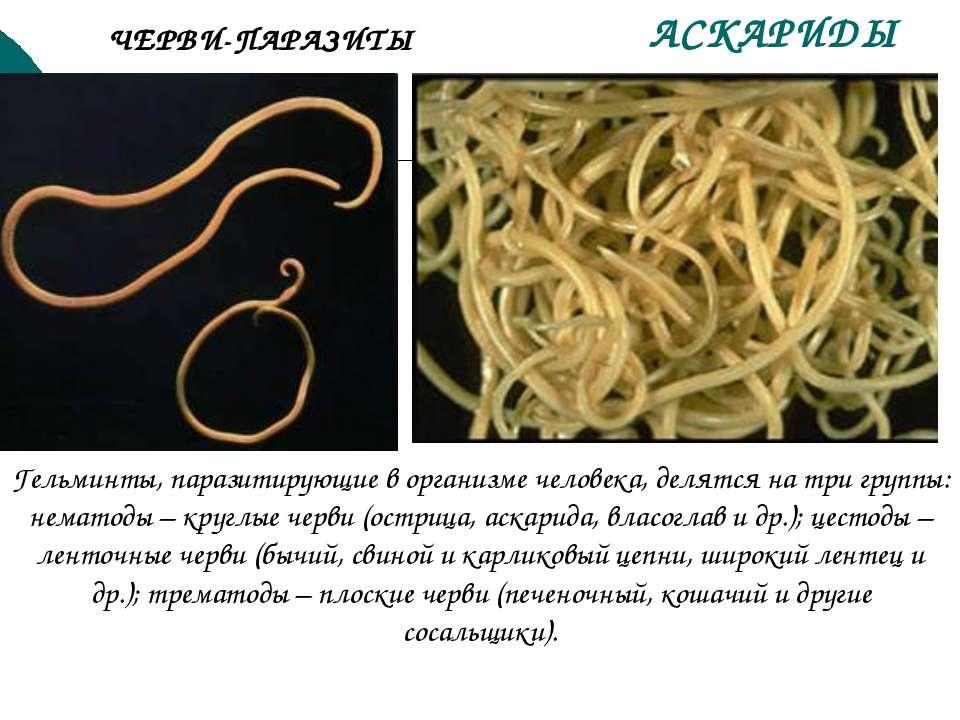 АСКАРИДЫ Гельминты, паразитирующие в организме человека, делятся на три групп...