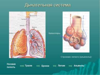 Дыхательная система Бронхи Строение легкого (альвеолы) Капилляры Носовая поло...