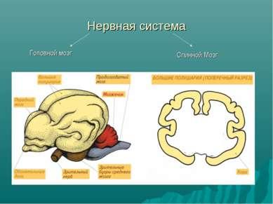 Нервная система Головной мозг Спинной Мозг