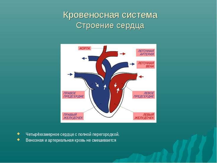 Кровеносная система Строение сердца Четырёхкамерное сердце с полной перегород...