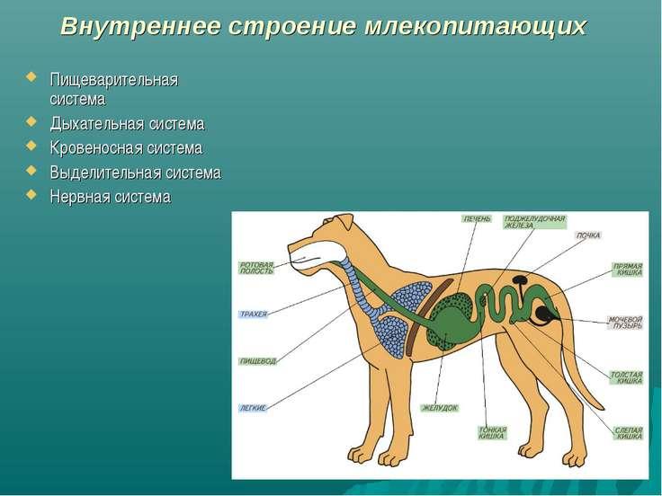 Внутреннее строение млекопитающих Пищеварительная система Дыхательная система...