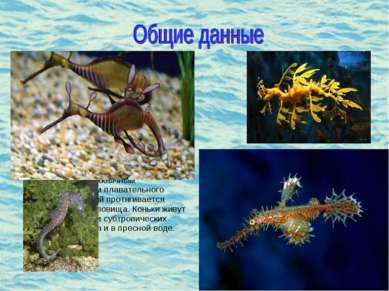 Морской конек (лат. Hyppocampus)- род небольших костистых рыб семейства морск...