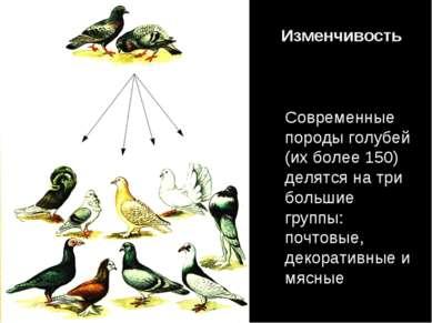 Современные породы голубей (их более 150) делятся на три большие группы: почт...