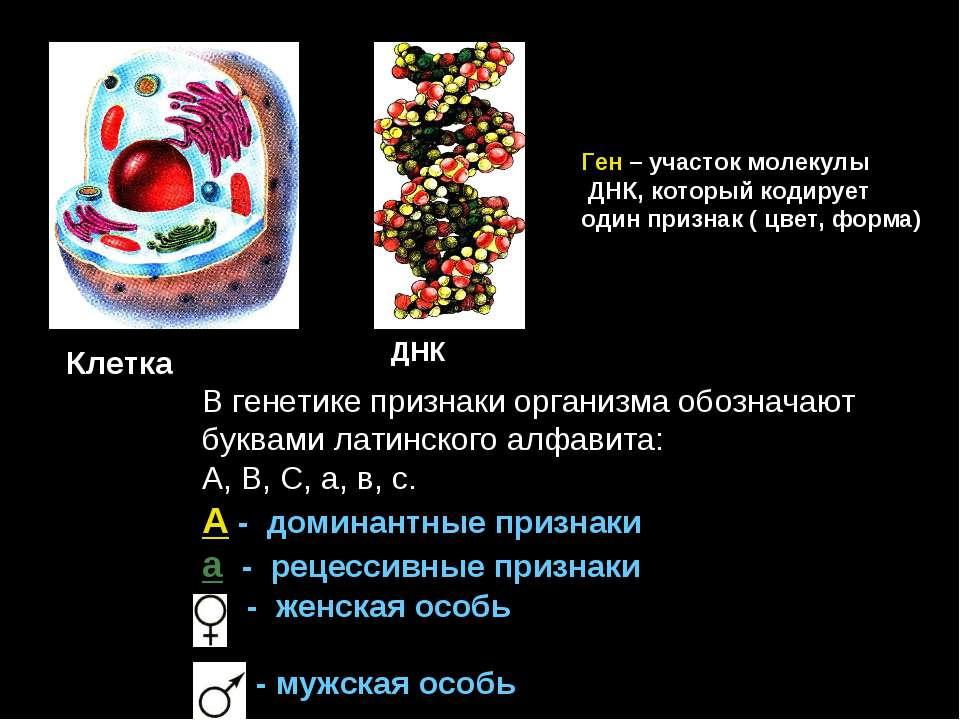 Клетка ДНК Ген – участок молекулы ДНК, который кодирует один признак ( цвет, ...