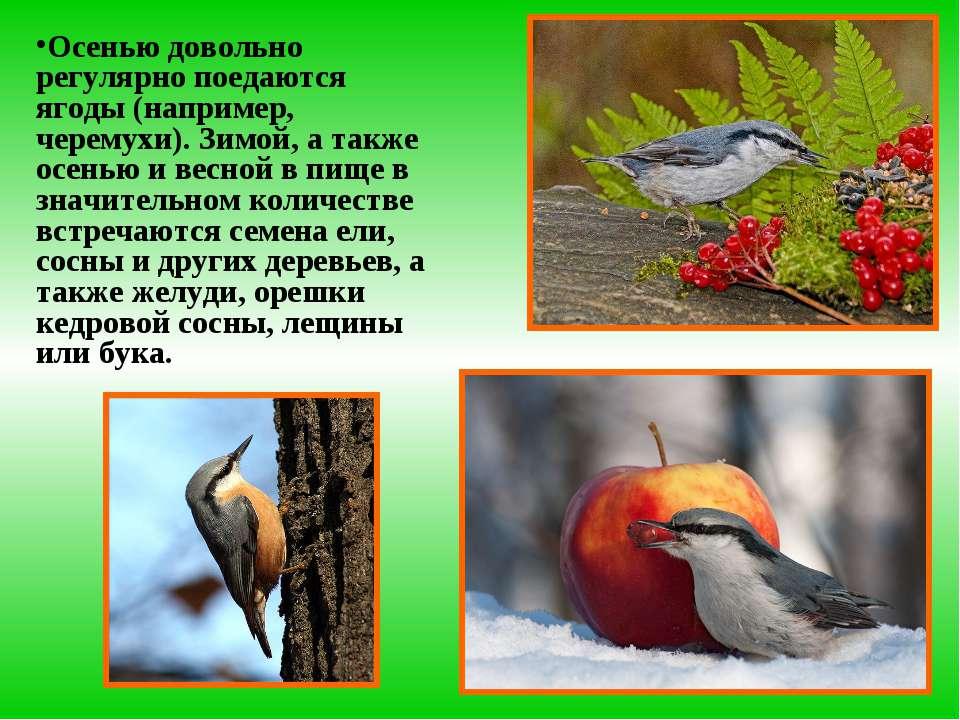 Осенью довольно регулярно поедаются ягоды (например, черемухи). Зимой, а такж...