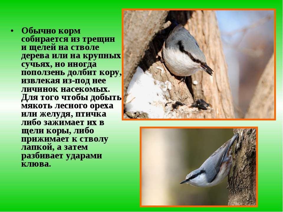 Обычно корм собирается из трещин и щелей на стволе дерева или на крупных сучь...