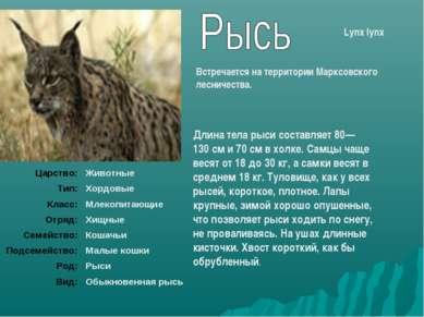 Длина тела рыси составляет 80—130см и 70см в холке. Самцы чаще весят от 18 ...