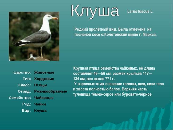 Larus fuscus L. Крупная птица семейства чайковых, её длина составляет 48—56с...