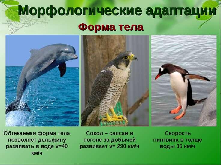Морфологические адаптации Форма тела Обтекаемая форма тела позволяет дельфину...