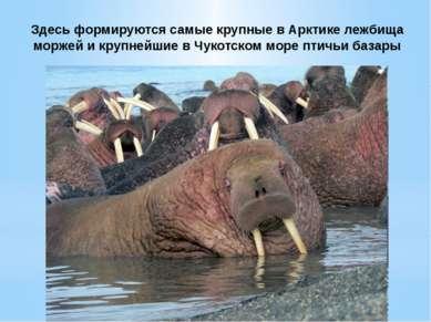 Здесь формируются самые крупные в Арктике лежбища моржей и крупнейшие в Чукот...