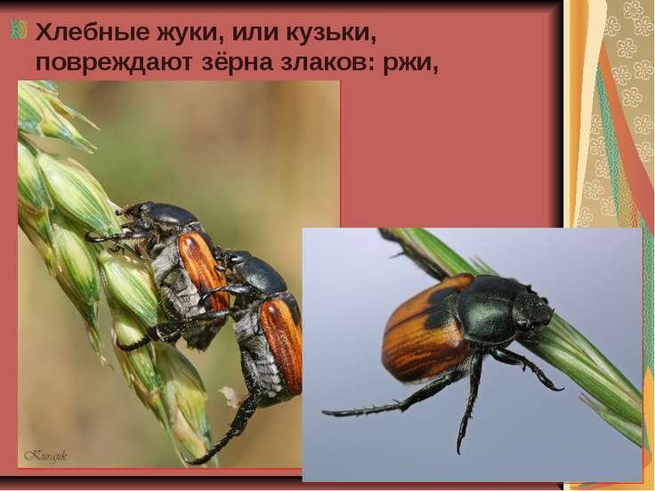 Хлебные жуки, или кузьки, повреждают зёрна злаков: ржи, ячменя, пшеницы.