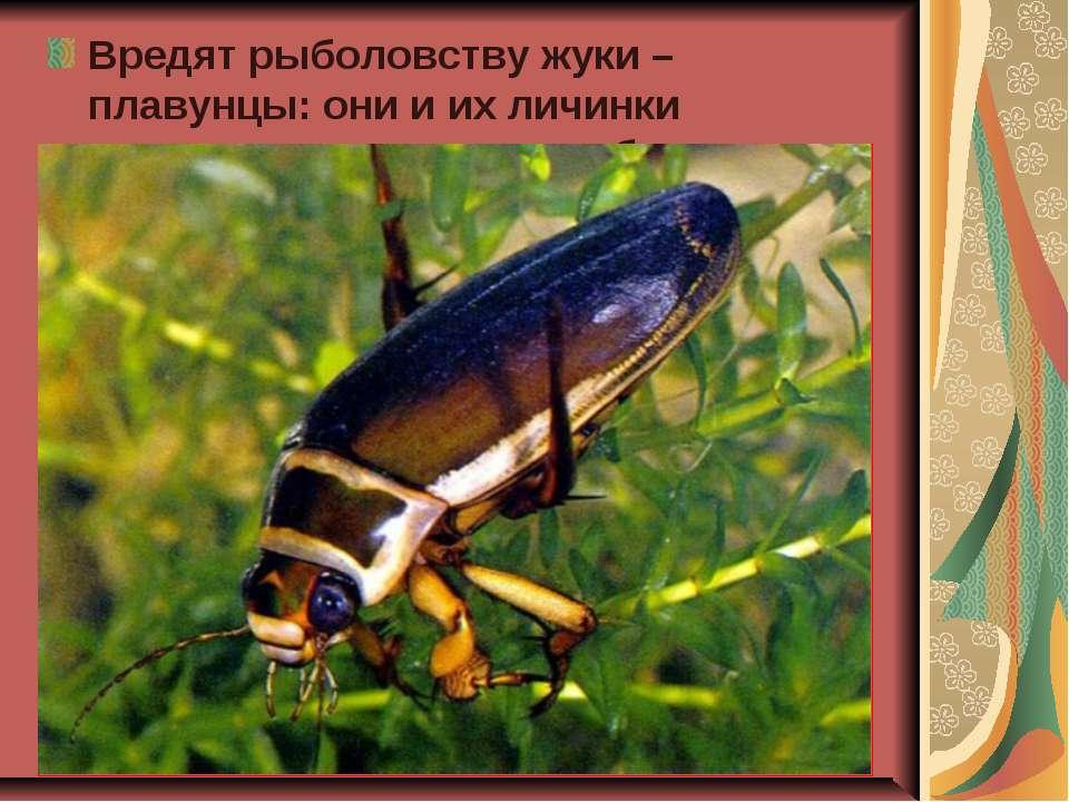 Вредят рыболовству жуки – плавунцы: они и их личинки нападают на мальков рыб.