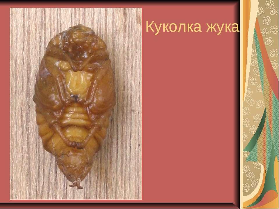 Куколка жука